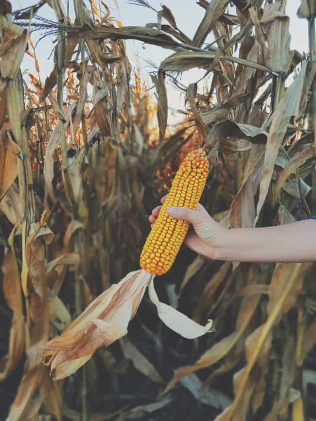America's Corn Country, a tour through the fields of Iowa.