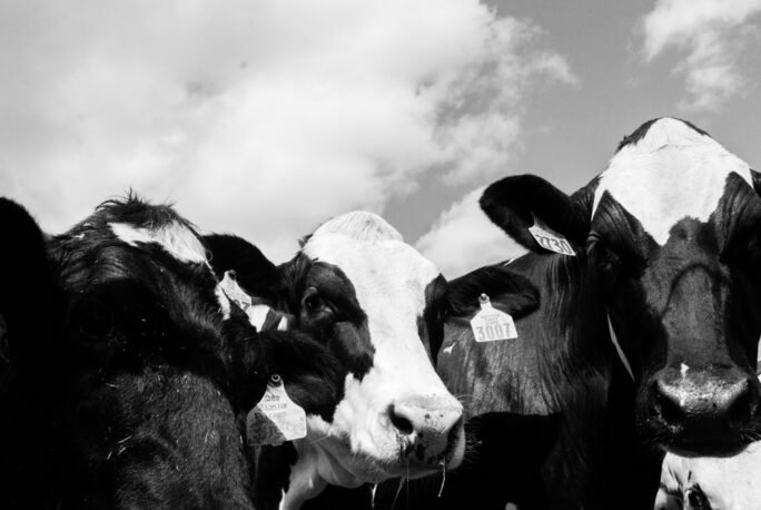 happy Cows at Flood brothers farm