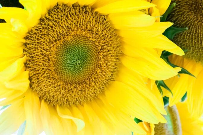 fresh sunflower from maine