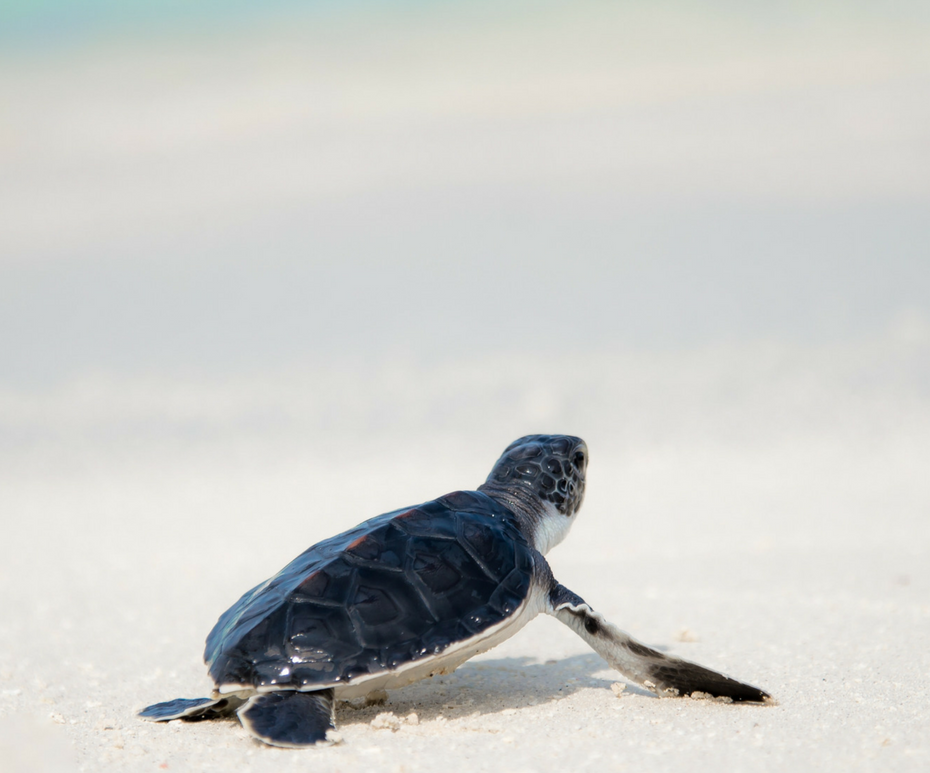 Turtle hatching at Dreams Los Cabos Suites Golf Resort & Spa - Images provided by Apple Vacations