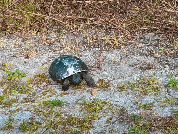gopher tortoise strolling along and nibbling at Anastasia beach